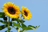Sunflowers Against Blue Sky — Stock fotografie