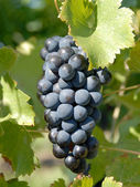 Syrah, Shiraz Grapes — Stock Photo