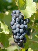 Syrah, Shiraz Grapes — Stock Photo