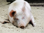 Resting pig — Stock Photo