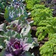 Stock Photo: Rows of cabbage and Kale plants growing on allotment