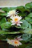 розовый лотос — Стоковое фото