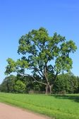 Summer landscape. Old oak tree in the park — Stock Photo