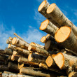 Birch logs under blue sky — Stock Photo