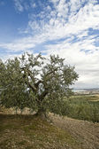 Olive tree. — Stock Photo