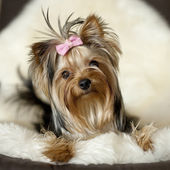Yorkie on deer leather — Stock Photo