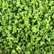 Clover is a low ground covering plant. — Stock Photo