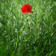 Red poppy in green grass — Stock Photo