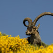 Ibex in the Gredos in vegetation - Stock Photo