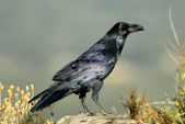 A crow — Stock Photo