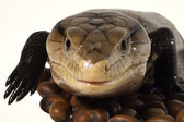 Baby Reptile 4 — Stock Photo