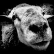 Stock Photo: Old Sheep