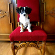 Stock Photo: Puppy on oak chair