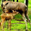 Stock Photo: Little moose and his mother