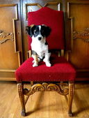 A puppy on an oak chair — Stock Photo