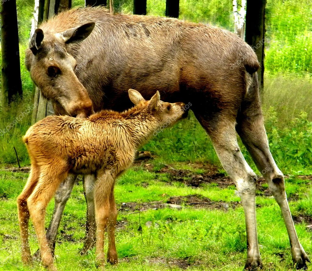 The little moose and his mother — 图库照片 #12079579