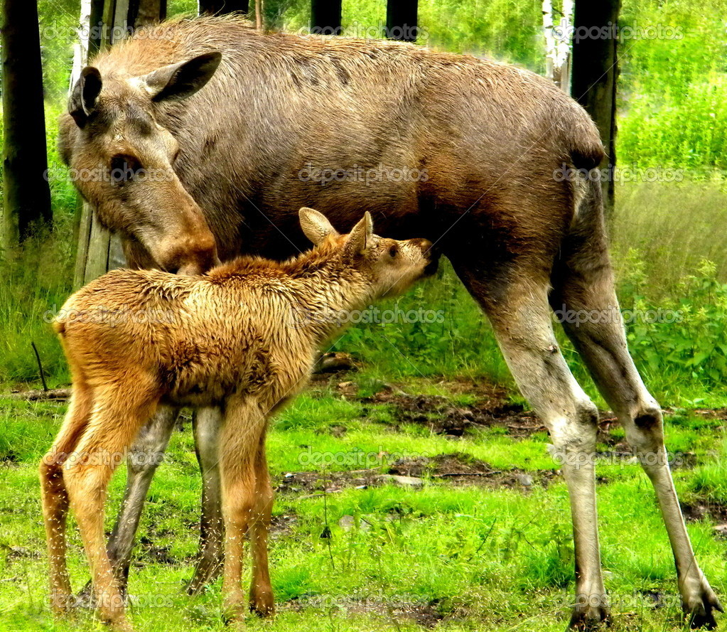 The little moose and his mother  Stock Photo #12079579