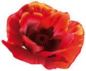 Red poppy — Stock Vector