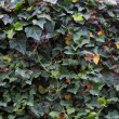 Ivy background — Foto de Stock
