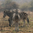 Burchell's Zebras — Stock Photo