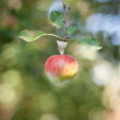 Apple on branch — Stock fotografie #11996817