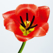 Tulip on neutral background — Stock Photo