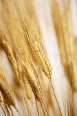 Wheat on blue sky — Stockfoto