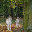 Two sika deer in autumn forest — Stock Photo