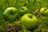 Four green apples lying in garden in green grass — Stock Photo