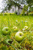Four wet yellow-green apples lying in green grass near treen in — Stock Photo