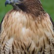 Stock Photo: Red Tailed Hawk