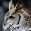 Stock Photo: Northern White Faced Owl