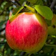 Apples — Stock Photo #12032585