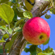 Apples — Stock Photo #12032604