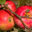 Apples — Stock Photo #12032607