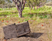 Apple Orchards — Stock Photo