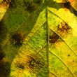 Elm Leaf Through the Sun — Stock Photo