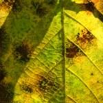 Elm Leaf Through the Sun — Stock Photo #12145433