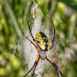 Black and Yellow Garden Spider — Stock Photo #12185940