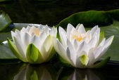 Two Water Lilly Flowers — Stock Photo