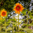 Sun Flowers — Stock Photo #12372369