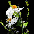 Coulter's MatilijPoppy — Stockfoto #12395322