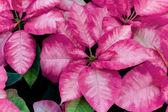 Christmas Poinsettia — Stock Photo
