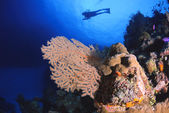 Diver above a Gorgonian Sea Fan — 图库照片