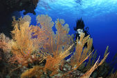 Gorgonia sea fan anella mollis e donna subacqueo — Foto Stock