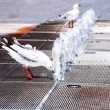 Seagull is drinking from fountain — Stock Photo #11993269