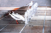 Seagull is drinking from a fountain — 图库照片