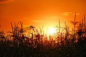 Sunset in cornfield — Stock Photo