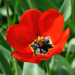 Red tulips in sunlight — Stock Photo