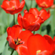 Stock Photo: Red tulips in sunlight